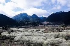 Le haut-plateau de Môc Châu à la saison de la floraison des pruniers