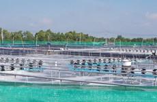 Bac Lieu deviendra un centre de production de crevettes du pays