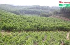 Vinh Phuc développe l'économie forestière de manière durable