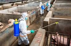 La FAO et l'OIE soutiennent le Vietnam dans sa lutte contre les épidémies de peste porcine africaine