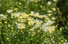 Affluence dans les jardins de marguerites Daisy