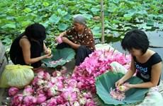 Le thé au lotus, une spécialité sublime de Hanoï