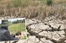 La sécheresse et l'intrusion saline affectent gravement l'agriculture dans le delta du Mékong