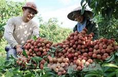 Promotion commerciale du litchi de Hai Duong dans les marchés étrangers