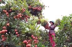 Bac Giang exportera le premier lot de litchis au Japon vers la fin de mai
