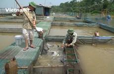 Un agriculteur qui gagne gros grâce à l'élevage des poissons Oreochromis sur la rivière Kinh Thay