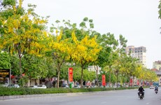 Admirer les Cassia fistula qui fleurissent dans le ciel de la capitale