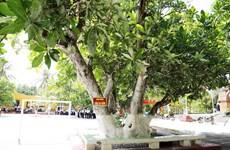 Des arbres patrimoniaux nationaux – monuments de souveraineté à Truong Sa