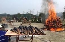 La destruction de l'ivoire doit être une pratique courante au Vietnam
