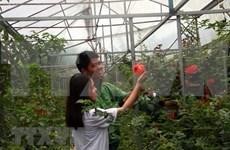 De belles fleurs roses retiennent les touristes à Da Lat