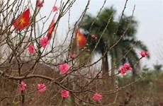 Des fleurs de pêcher de Nhât Tân avant le Têt traditionnel
