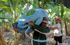 COVID-19 : Les producteurs de bananes des Philippines éprouvent des difficultés