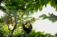 La pomme cannelle de Chi Lang, spécialité de Lang Son
