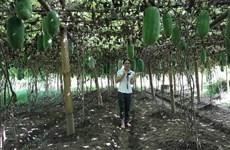 Les courgettes parfumées aident les agriculteurs du district de Ba Bê à sortir de la pauvreté