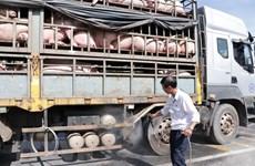 La peste porcine africaine frappe 46 des 63 villes et provinces du Vietnam