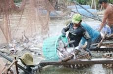 L'offre mondiale décroissante de la morue profite au pangasius vietnamien
