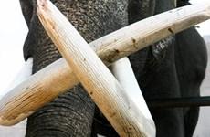 Singapour va interdire le commerce intérieur d'ivoire