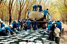 Caoutchouc : les exportations atteignent 2,02 milliards de dollars en onze mois