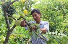 Vinh Phuc : cultiver les pommes-cannelle pour sortir de la pauvreté
