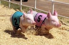 Des courses de cochons à Can Tho