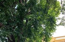 """Le diospyros decandra de 900 ans est reconnu comme """"arbre du patrimoine"""""""