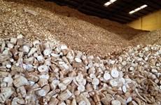 1er trimestre: croissance des exportations vietnamiennes de manioc et de produits dérivés