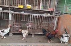 Coopération vietnamo-belge : développer l'élevage de races locales de poulets avec succès