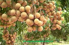 Exportation de longanes frais: le Vietnam attend le feu vert de l'Australie