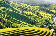 Des champs jaunes en terrasses à Hoàng Su Phi