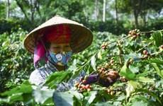Exportations nationales de café en baisse en 11 mois