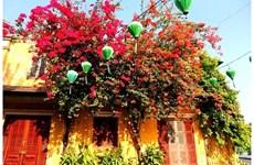 Des fleurs de bougainvillier brillent la vieille ville de Hôi An à la saison de COVID-19