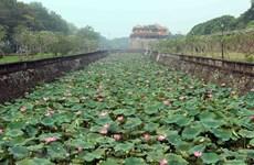 Admirer les fleurs de lotus parfumées à Thua Thiên-Huê