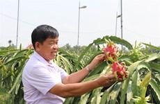 Long An s'efforce d'avoir 3.000 ha de fermes de fruits du dragon répondant aux normes VietGap
