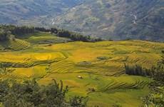 Saison du riz dans la commune de Y Ty
