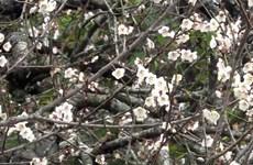 La beauté surprenante au paradis de fleurs d'abricotier à Môc Châu