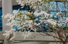 La beauté gracieuse de Hanoï à la floraison des fleurs de «sua» (Dalbergia tonkinensis)