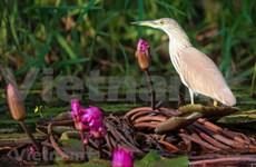 Beauté des oiseaux au parc national de Tram Chim