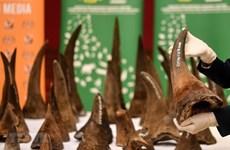 Le Vietnam remet à l'Afrique du Sud des échantillons de cornes de rhinocéros saisies