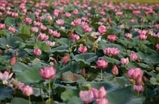 Conservation et développement durable de la culture du lotus de Thua Thien-Huê