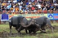 Fête de combat de buffles à Hai Phong