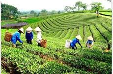Le thé du village de Ven, une spécialité de la province de Bac Giang