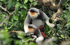 Thua Thien-Hue : un douc relâché dans la nature