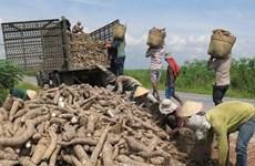 Les exportations vietnamiennes de manioc en 2019 atteignent près d'un milliard de dollars