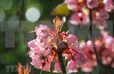 Floraison des cerisiers campanulés au sommet de la montagne de Ba Na