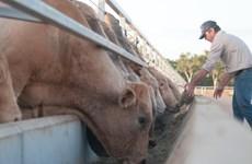 Le premier lot de vaches importées d'Australie de Hoa Phat est en route pour le Vietnam