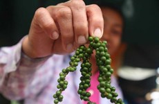 Cambodge : Hausse du prix du poivre grâce à la demande du Vietnam