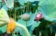 Saison de récolte des graines de lotus à Ha Nam