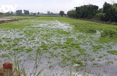 Ca Mau: de nombreux hectares de riz et de légumes endommagés par de fortes pluies prolongées