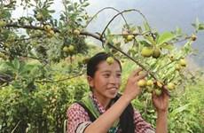 Sortir de la pauvreté grâce à la culture du táo mèo
