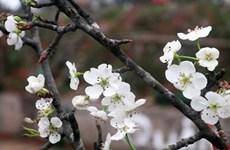 Les fleurs de poirier sauvage symbolisent l'arrivée du printemps